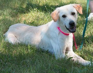 "JONAS is a neutered male Yellow Labrador Retriever of large size and 2 years old.  He's house-trained and good with other dogs.  Jonas is described by his foster family as good-natured, smart, ""your typically  happy Yellow Lab!""  Now who could resist that?  Give him a look and spread the word!    http://www.lastdaydogrescue.org/animals/detail?AnimalID=4874386"