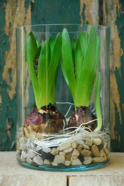 Hiacynty W Szklanych Pojemnikach Uprawa W Wodzie Artykuly Bulb Flowers Growing Bulbs Flower Gardening Diy