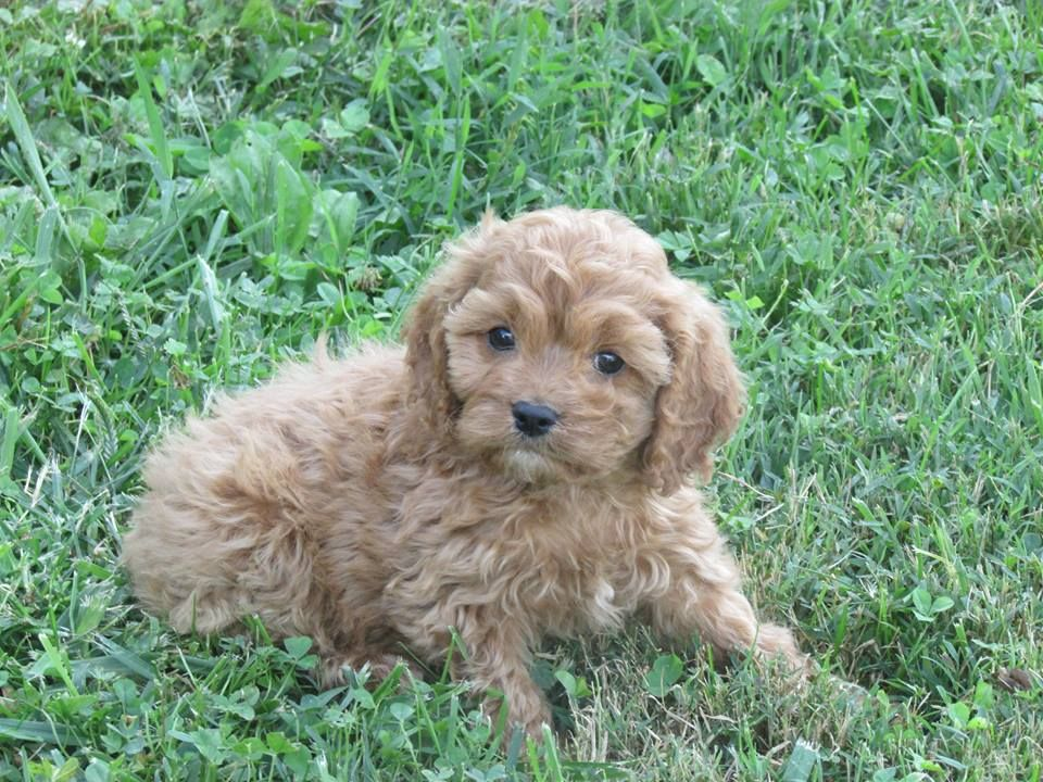 Adorable Cavapoos For Sale F1b Cavapoo Poodle Poo Doodle