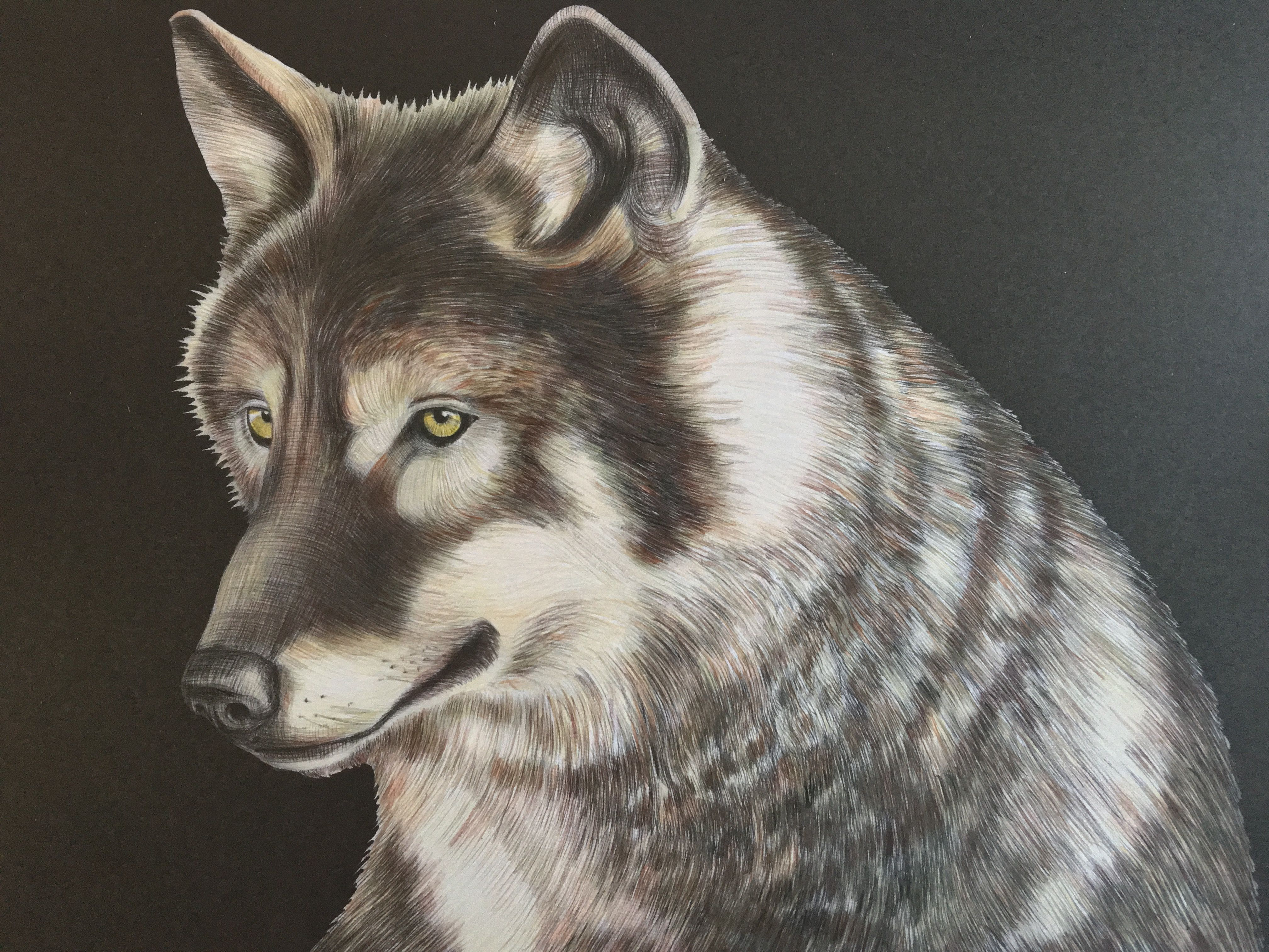 Coloring Pages Wolf : Wolf by jo w drawn by tim jeffs coloured by me colouring from the