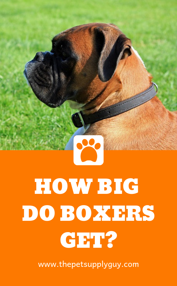 Puppy Height Calculator The Pet Supply Guy Boxer Puppies Dog Size Chart Puppies