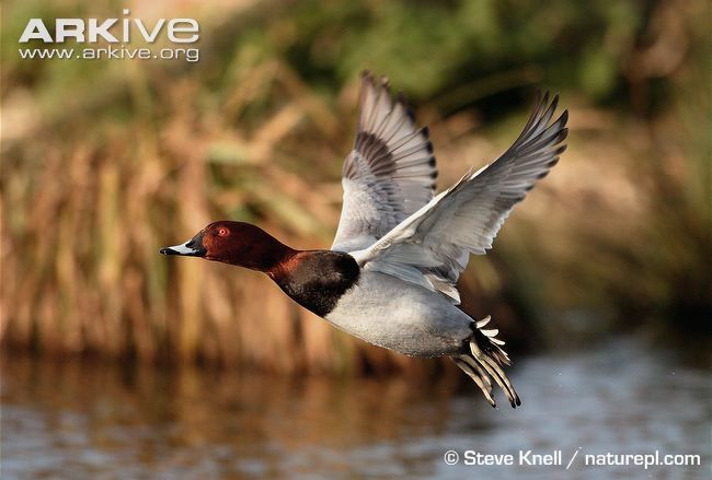 Common Pochard Aythya Ferina Male Pictures To Paint Pet Birds