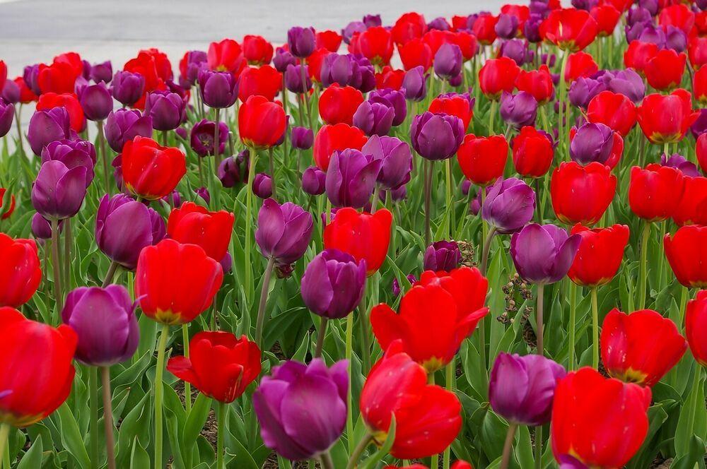5 Red Purple Tulip Bulbs Escapade Spring Flower Garden Bloom Fall Bulb 19 5 Spring Garden Flowers Fall Bulbs Bulb Flowers