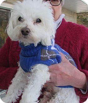 House Springs Mo Maltese Meet Fluffy A Dog For Adoption Http