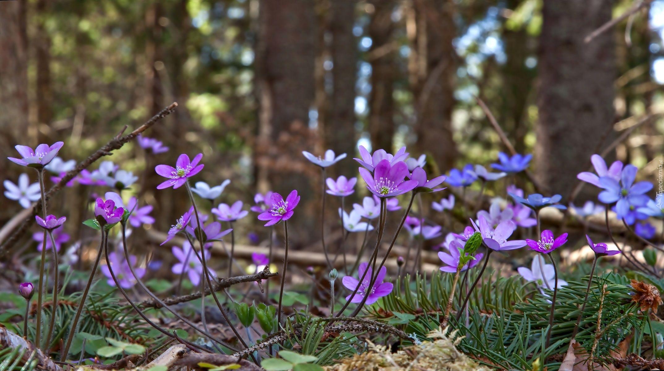 Przylaszczka Pospolita Las Wiosna Love Flowers Wild Flowers Flowers