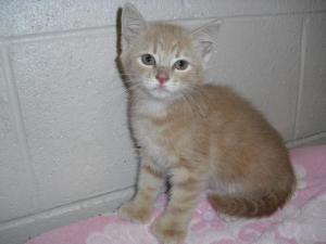 Adopt 2 Buff Female Kittens On Kittens Polydactyl Cat Cats And