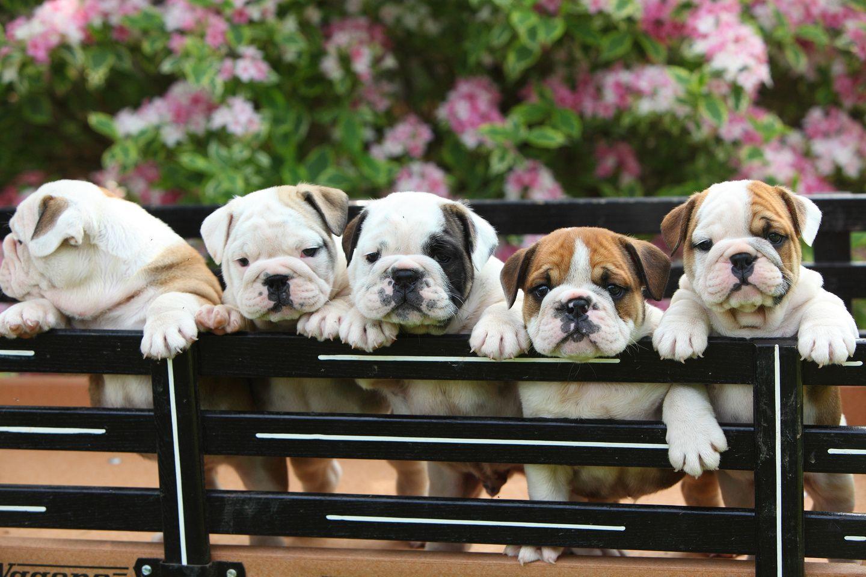 English Bulldogs English Bulldog Puppies In Wagon English Bulldog Puppies Bulldog Puppies Puppies