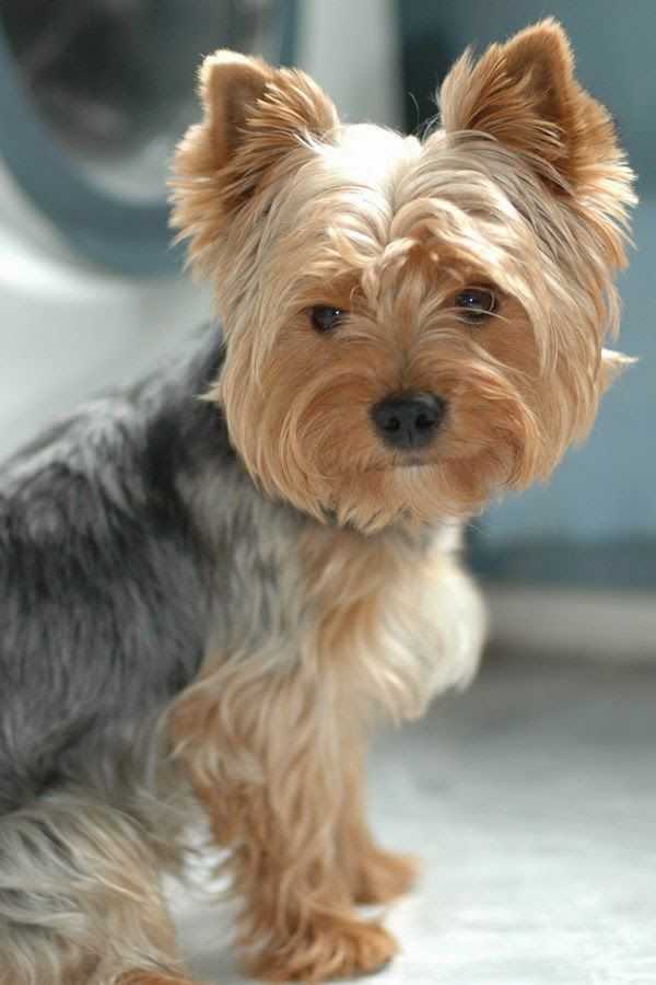 Find Out More About Yorkshire Terriers Look At U Erfahren Sie Mehr Uber Yorkshire Terri In 2020 Yorkshire Terrier Puppies Yorkshire Terrier Yorkshire Terrier Dog
