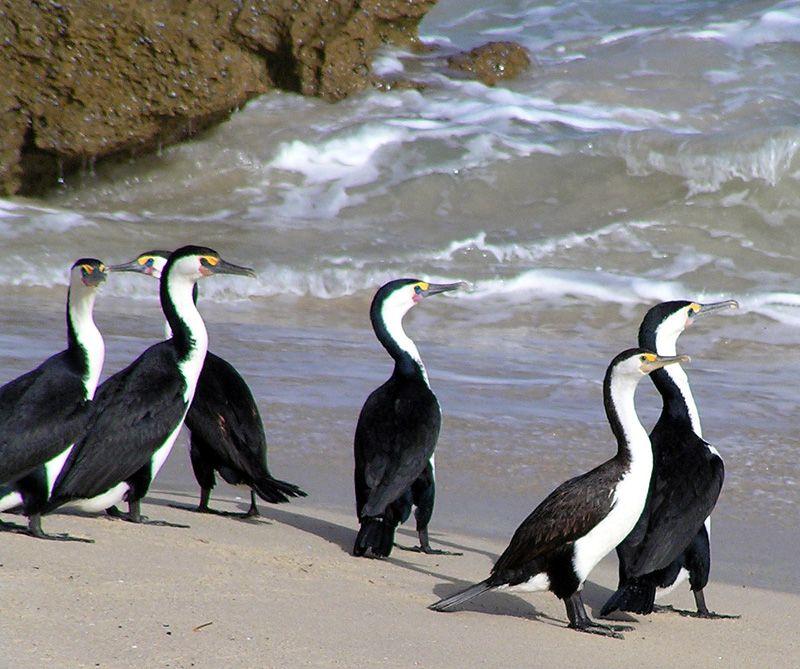 australian pied cormorant  phalacrocorax varius