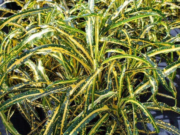 Croton Codiaeum Augustifolium Plantas Jardinagem