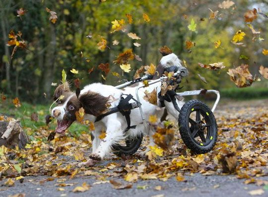 :) Dogs in wheelchairs really do act just like other dogs - chasing leaves at full speed, with pure joy!