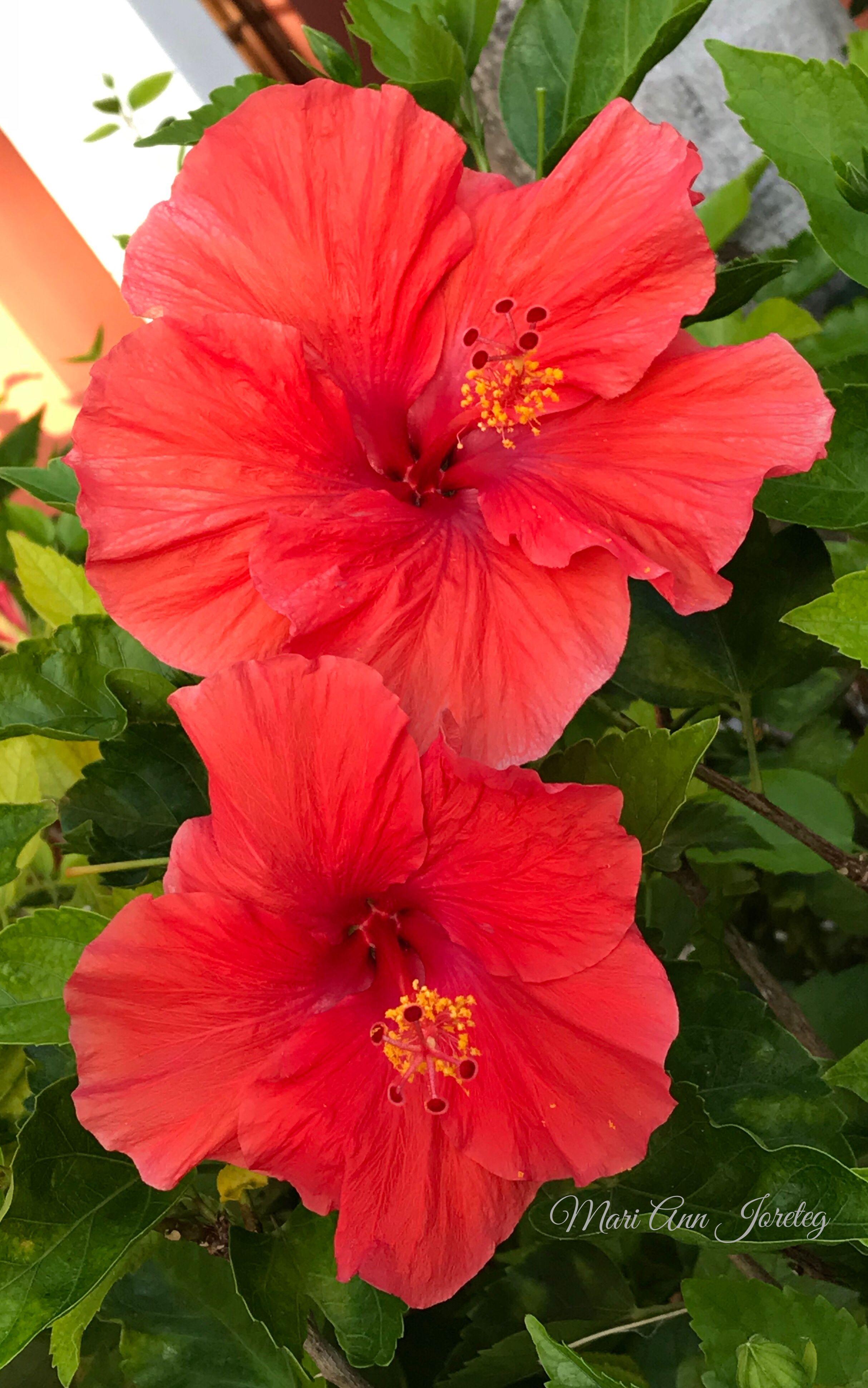 Pin De Mari Ann Em Hibiscus Garden Belas Flores Hibisco Flores