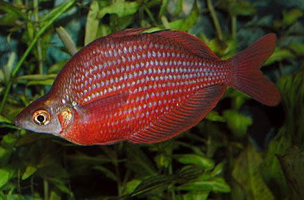 Dority S Rainbowfish Zig Zag Rainbowfish Zigzag Rainbowfish Glossolepis Dorityi From Lake Kali Biru Fish Tropical Fish Aquarium Freshwater Fish