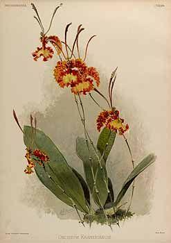 144626 Oncidium kramerianum Rchb.f. / Sander, F., Reichenbachia, orchids illustrated and described. Second Series, vol. 2: t. 84 (1839)
