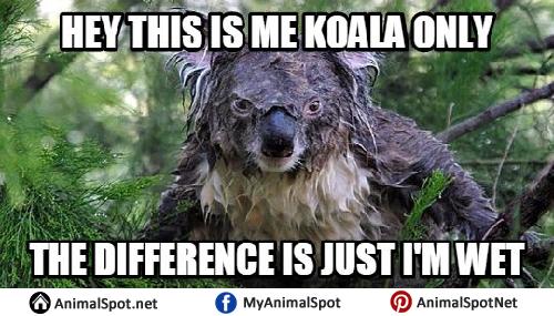Wet Koala Memes Koala Puns Koala Funny Koala