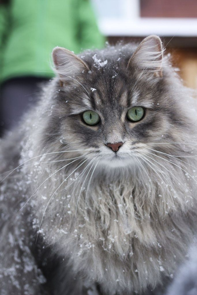 A beautiful Siberian cats first day in the snow