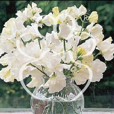 White sweet pea flower 34 years counting pinterest white sweet pea flower mightylinksfo