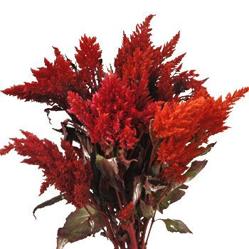 FiftyFlowers.com - Orangie Red Feather Celosia