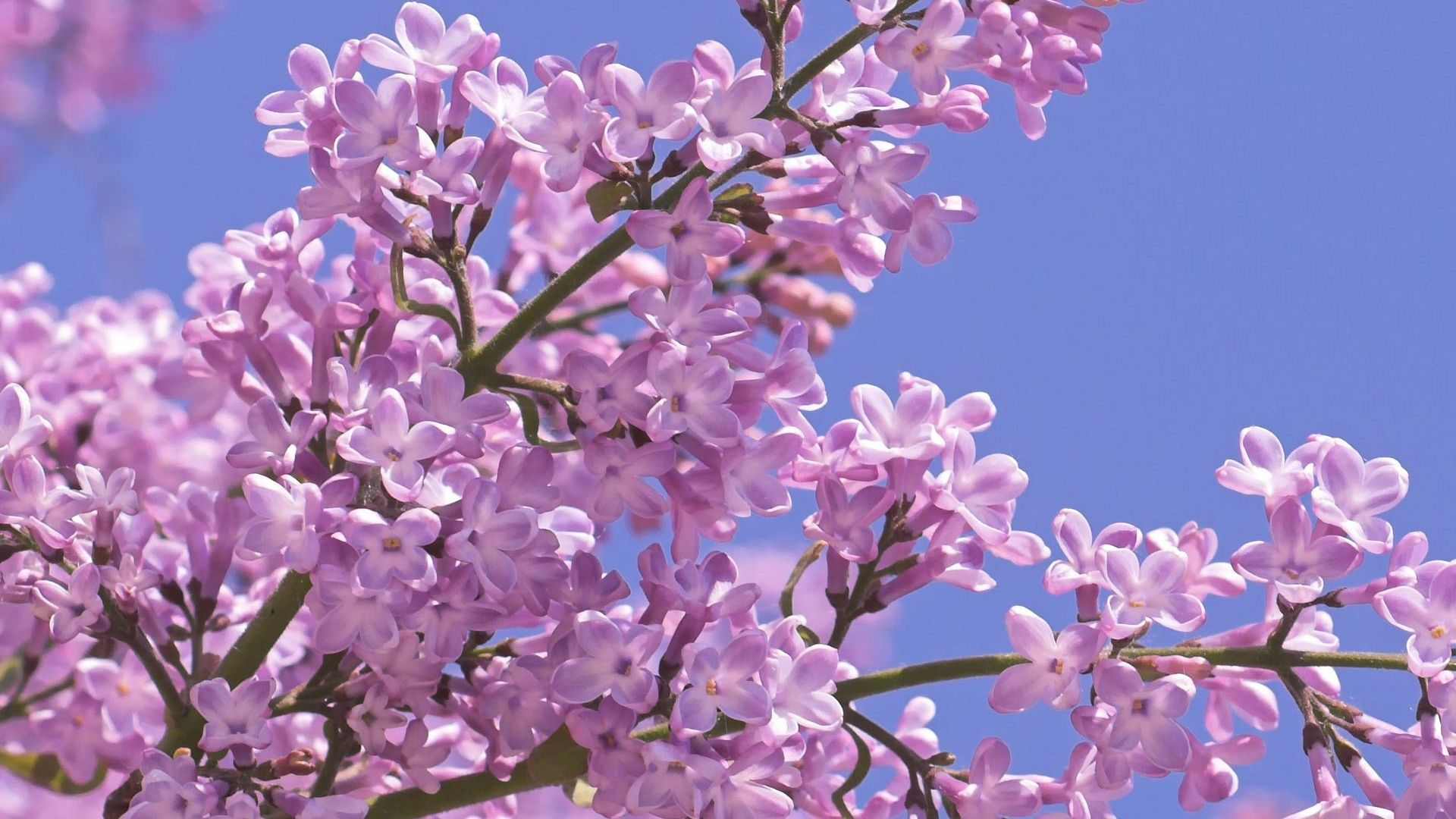 Lilac Tree Wallpaper Spring Flowers Wallpaper Lilac Tree Lilac Flowers