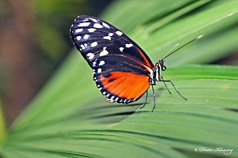 Bildergebnis Fur Eulenfalter Bestimmen Costa Rica Schmetterlingsarten Und Falter