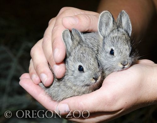 Endangered pygmy rabbits
