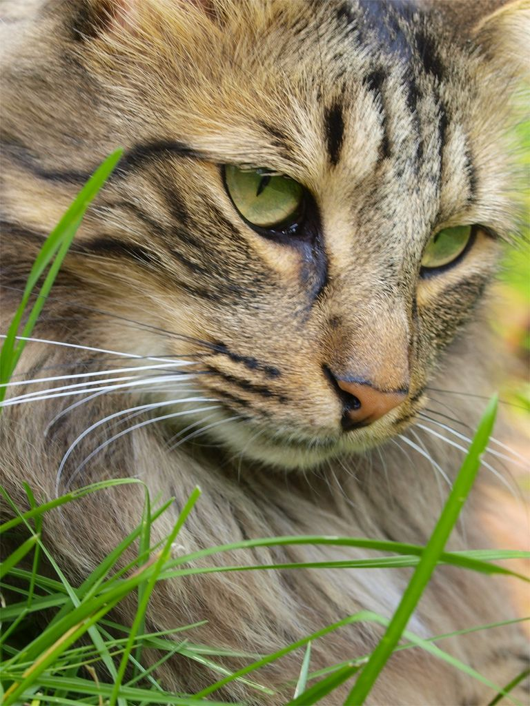 Ozzie Beautiful cats, Cats, Pretty cats