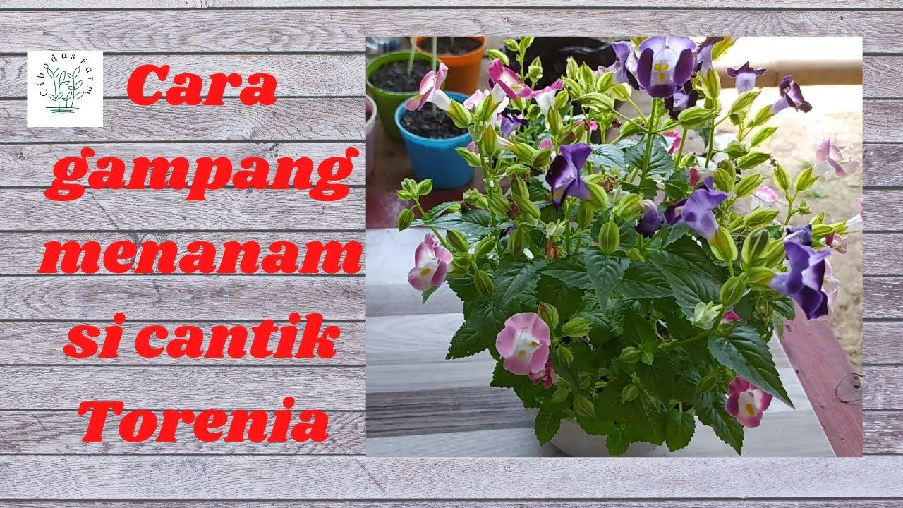 Cara Menanam Bunga Torenia Agar Subur Dan Berbunga Banyak Menanam Bunga Menanam Kesuburan