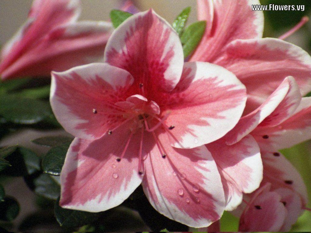 Azalea Take Care, Temperance, Fragile, Passion, Chinese