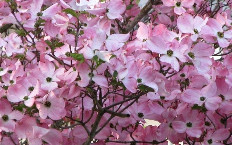 Pin By Homestead Trading Company On Plants On Ebay Pink Dogwood Pink Dogwood Tree Dogwood Trees