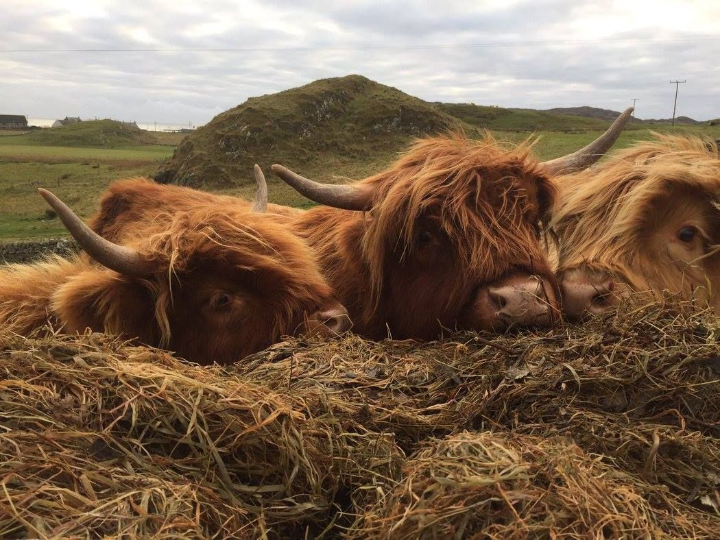 Pin by Sydney De Vault on Cows & Then Some | Scottish ...
