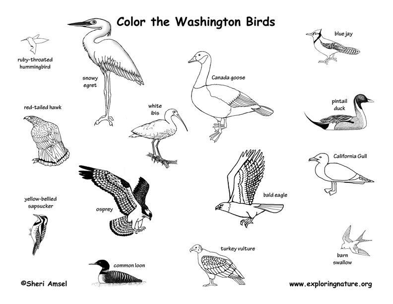 Washington State Birds Coloring Sheet