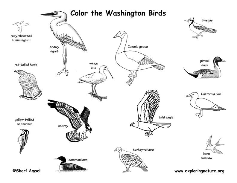 Washington State Birds Coloring Sheet Yahoo Image Search Results