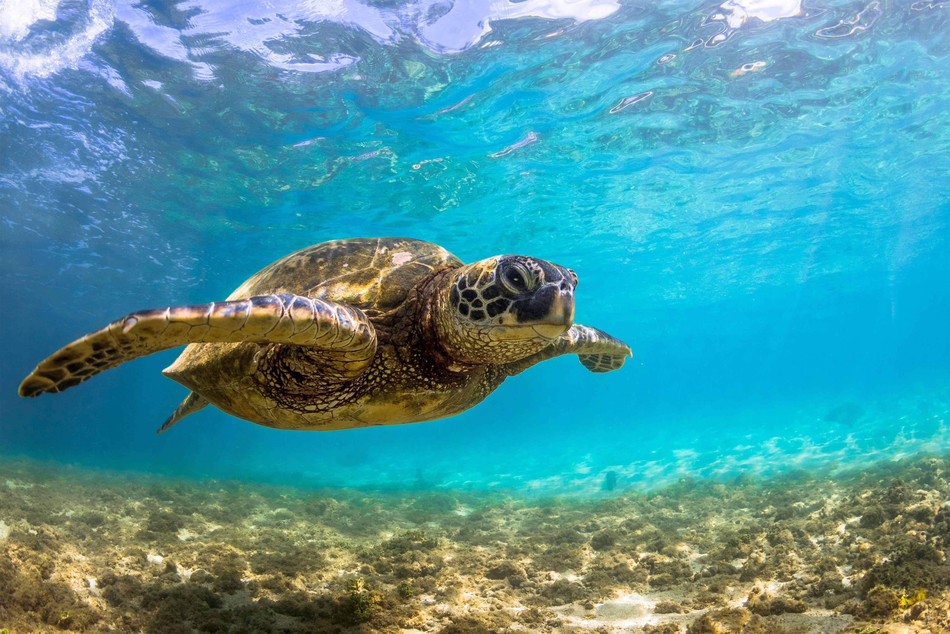 Sea Turtle Hd Wallpaper wallpaper hd
