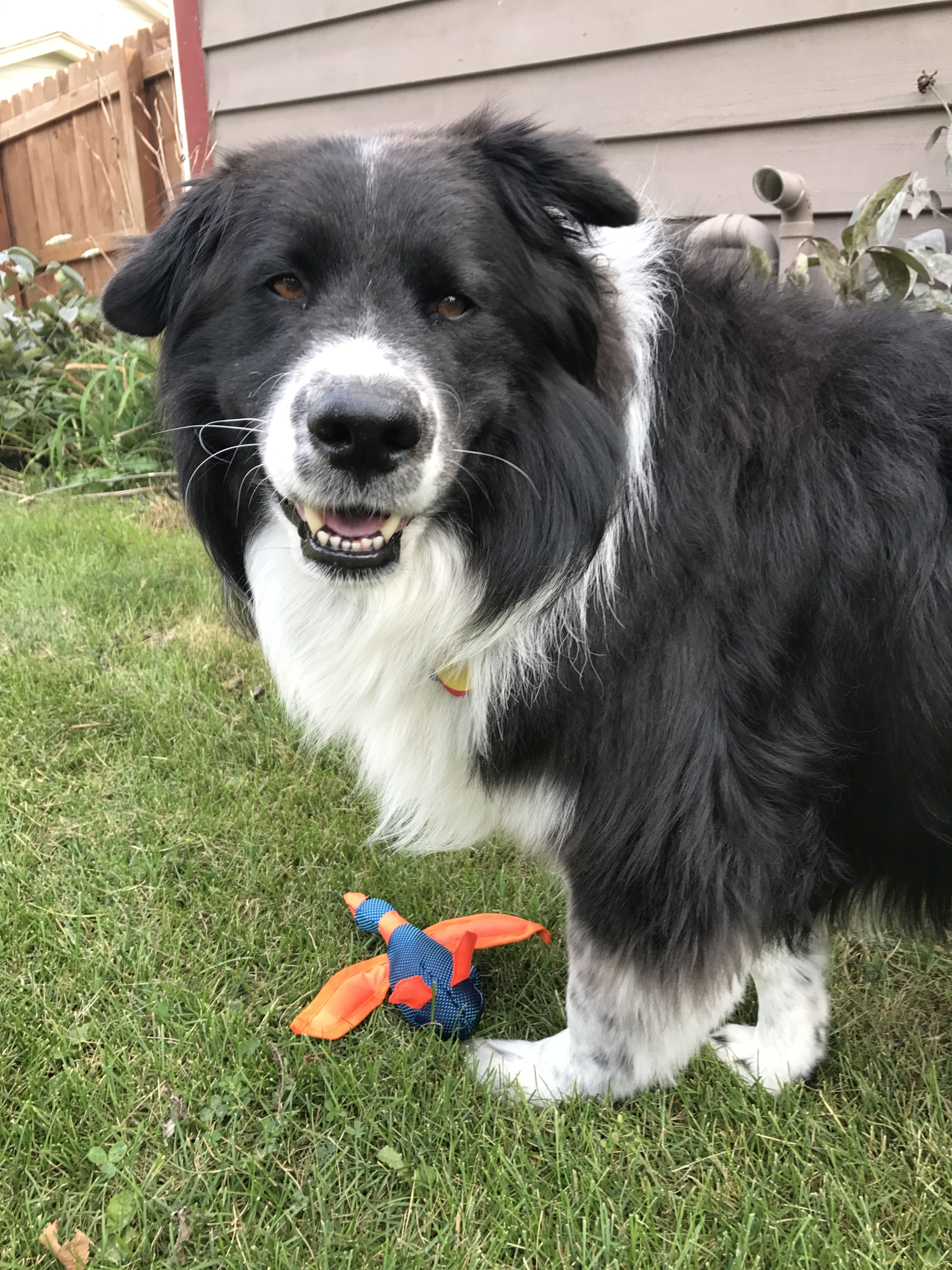 Border Collie Samoyed Mix Boo Happy With New Toy Home From Vet