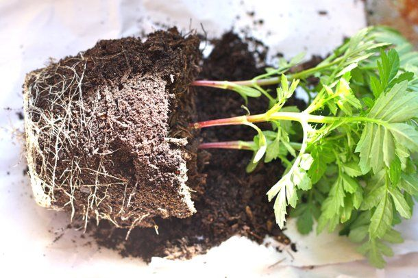 transferring plants to larger pots plant roots taking plants out of
