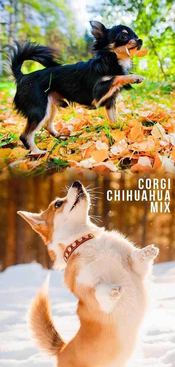 Corgi Mix Breeds For Sale