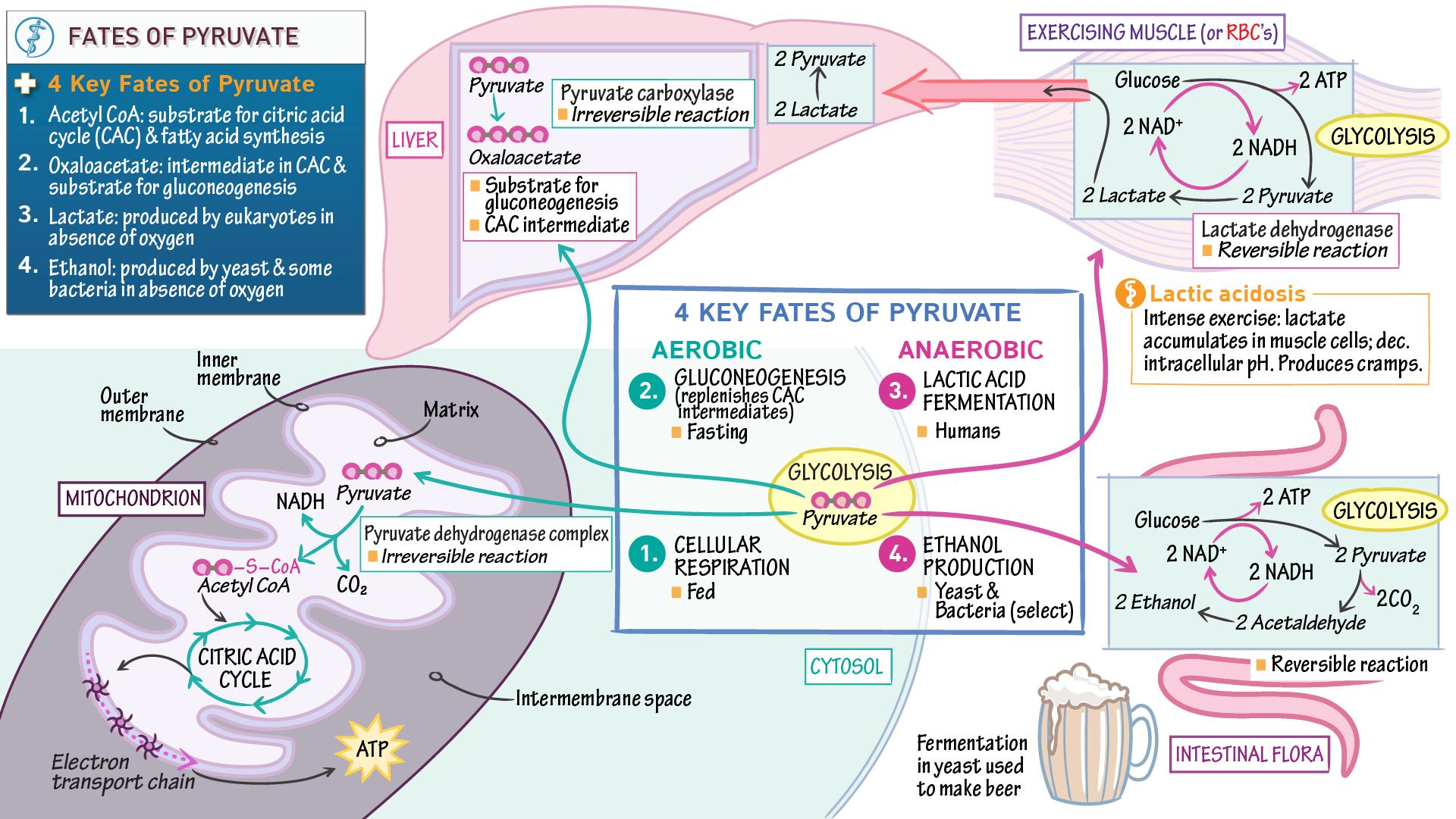 Biochemistry Fates Of Pyruvate