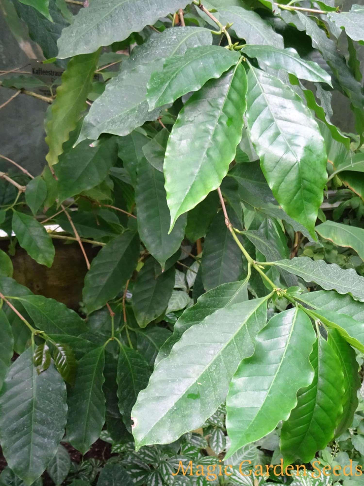 Robusta Tiefland-Kaffee (Coffea canephora) ist die kommerziell ...