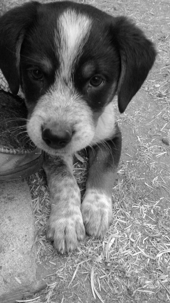 My Favorite Little Man Copper Beagle Blue Heeler Mix Puppy 9