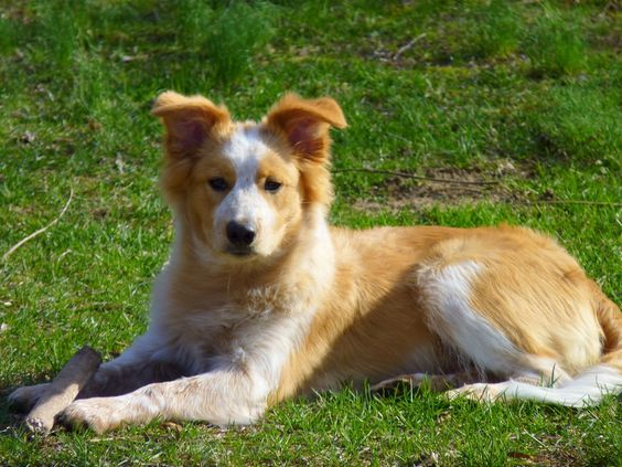 This Would Be So Cool Border Collie Golden Retriever Mix