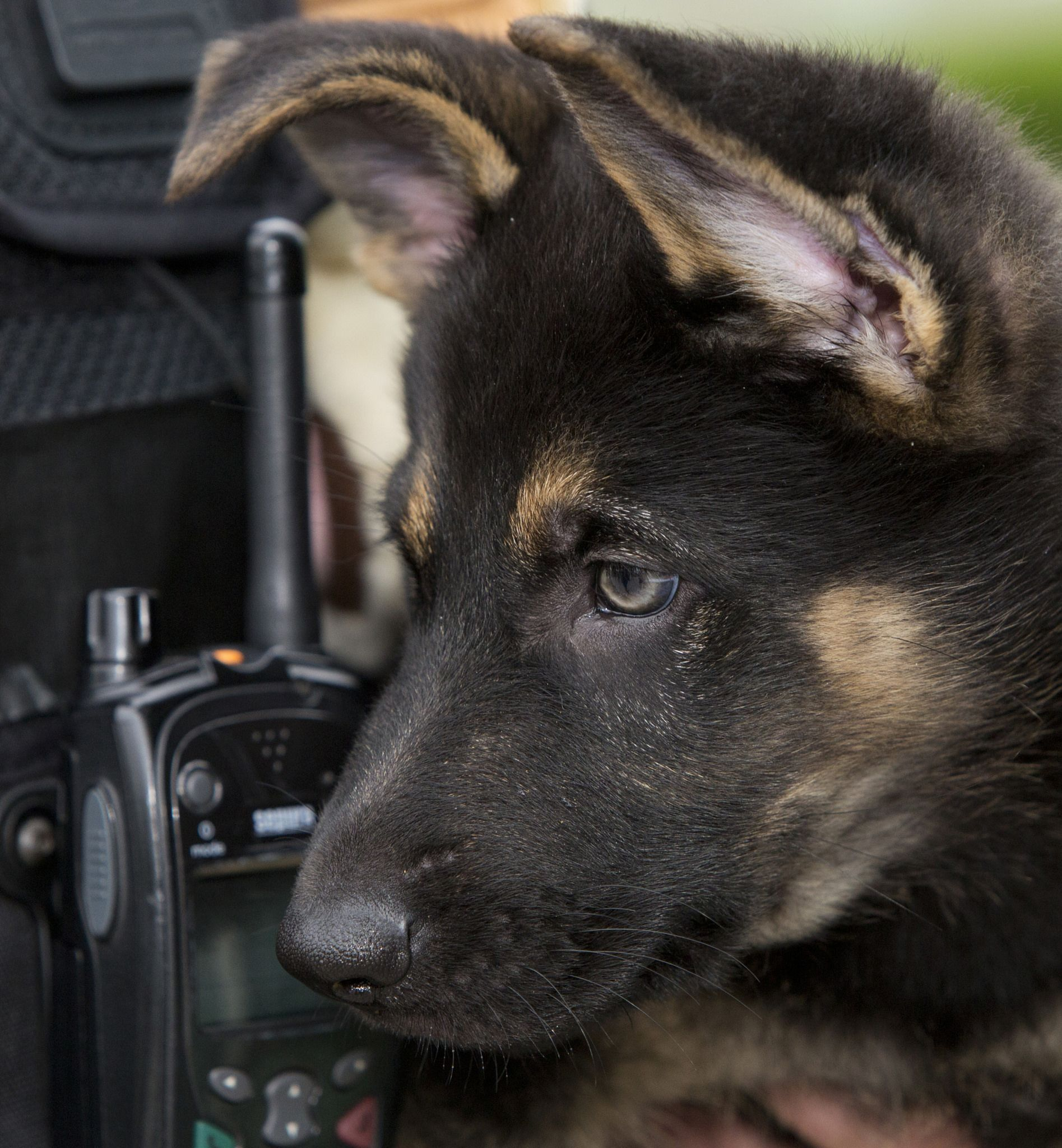 Dexter Calls In German Shepherd Training Dogs German Shepherd Dogs