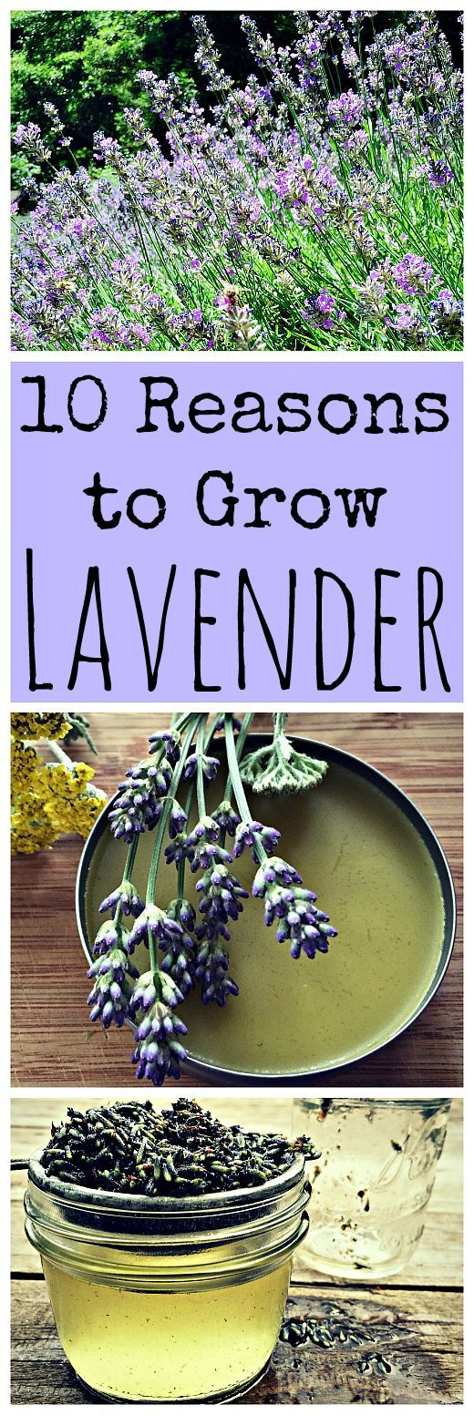 10 Reasons to Grow Lavender is part of Growing lavender, Flower garden, Lavender garden, Plants, Backyard garden, Herbs - Lavender is a great plant to have around for so many reasons! It's edible and medicinal to begin with  Here are 10 reasons to grow lavender