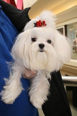 Baby Doll Faces Maltese Dogs Forum Spoiled Maltese Forums