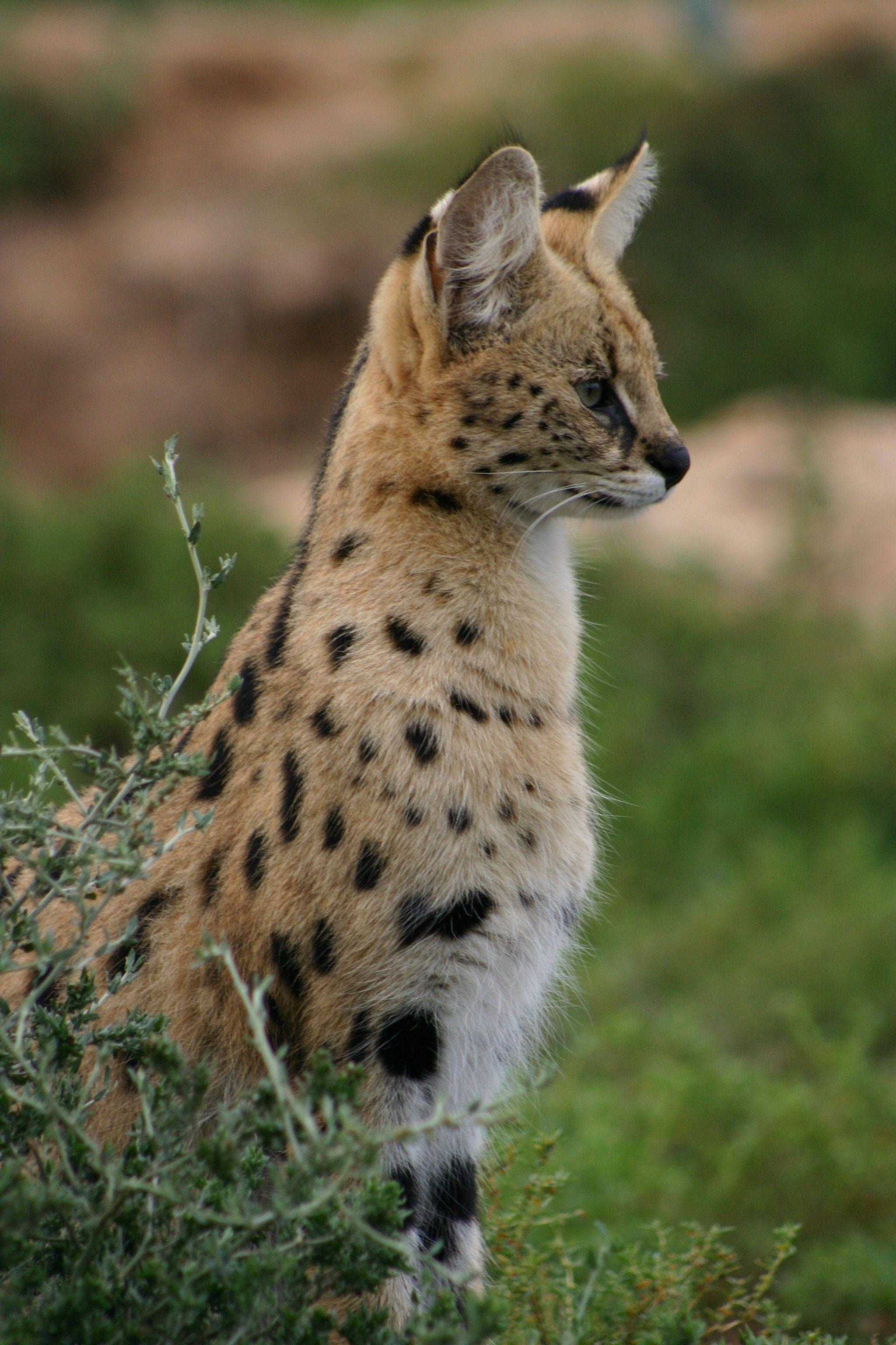 Savannah Cat. | cats | Savannah chat, Serval cats, Cats