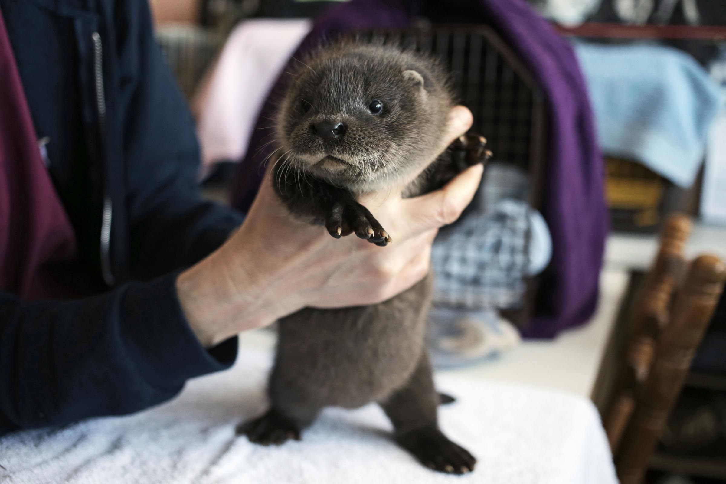 Otto Babyzimmer ~ Otto the baby otter saved after losing family baby otters otters