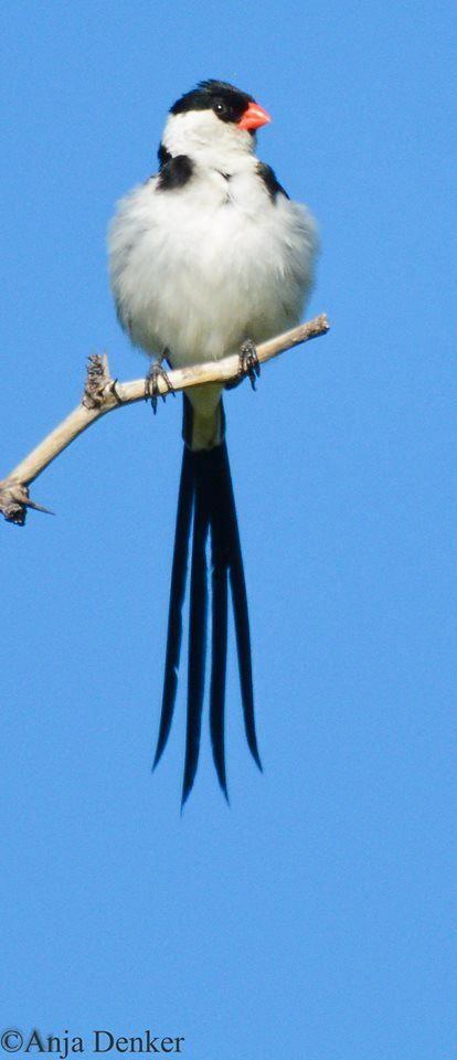 Pin-tailed Whydah. By Anja Denker