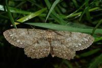 Ringspikkelspanner - Hypomecis punctinalis
