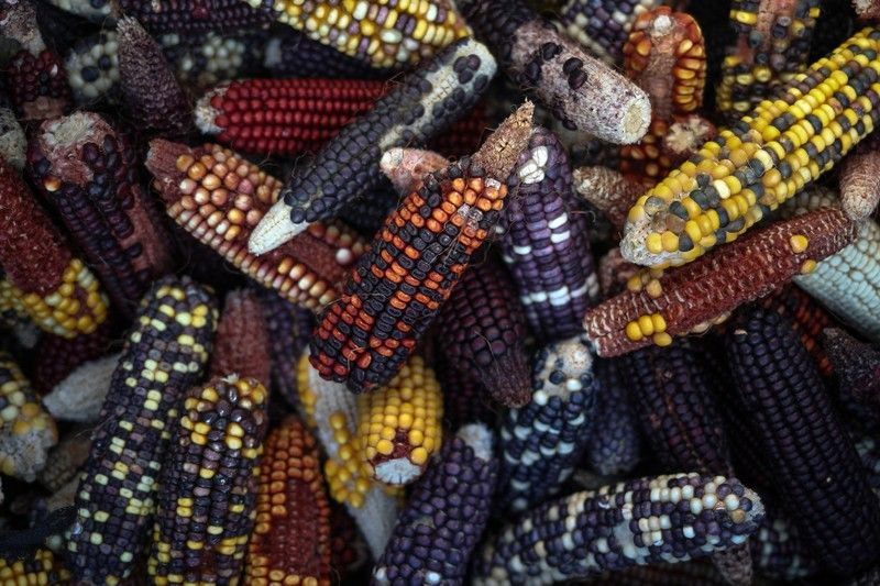 Fields of dreams Texas project seeks new corn strains for
