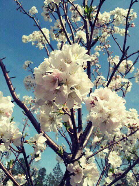 Spring Is Here Williamsburg Cherry Blossoms Gambar