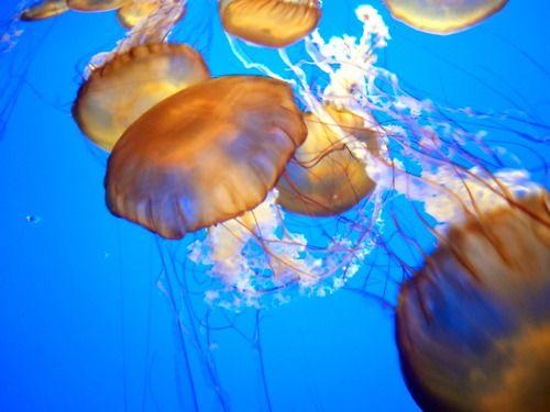 Jellies at the Monterey Bay Aquarium, Monterey, CA